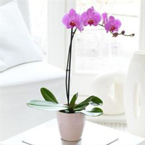 Photo of Pink Phalaenopsis Orchid
