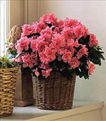 Photo of Azalea Blooming Plant