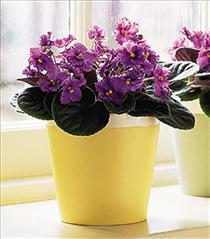Photo of Purple African Violet