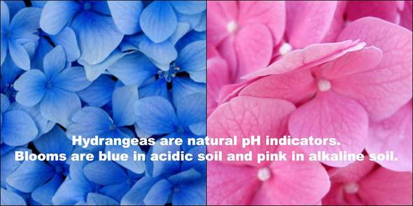 Hydrangeas are natural pH indicator - Blooms are bloom in acidic soil, and pink in alkaline soil.