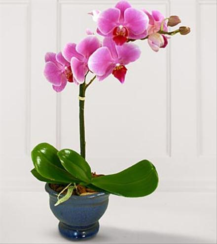 Phalaenopsis Orchid Plant Lavender or White