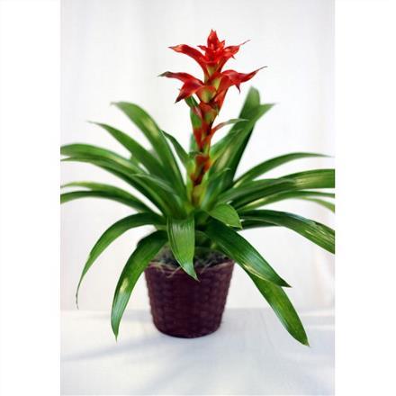 Bromeliad Plant in Wicker - 2067