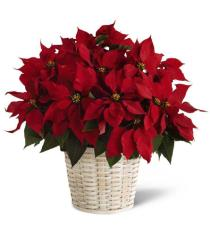 poinsettia red Christmas plant