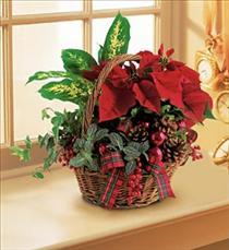 poinsettia christmas season arrangement