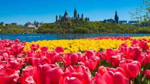 Canadian-Tulip-Festival_Brant_florist_Tulips