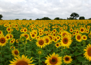 Brant Florist Sunflower Field