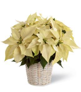 Brant Florist White Poinsettia