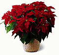 Photo of Red Poinsettia