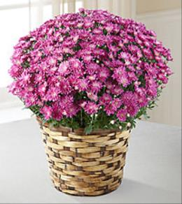 Photo of Mauve Pink  Mum Pot in Wicker  - S32-5f019