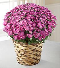 Photo of Mauve Pink  Mum Pot in Wicker  - S32-5f019