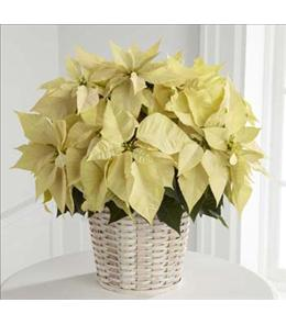 Photo of The FTD White Poinsettia Basket 7 to 10 inch - B17-3603