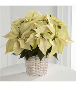 Photo of The FTD White Poinsettia Basket 6 TO 7 inch - B17-3604