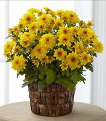 Photo of Chrysanthemum Mum Plant - B7-4923