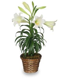 Photo of Easter Lily Plants Local Only - BF1203