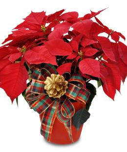 Photo of Red Poinsettia Plant  C1213  - C1213