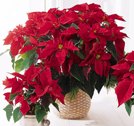 Photo of Red Poinsettia Basket (Large) - B9-3602