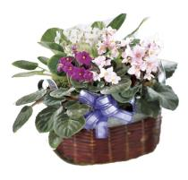 Photo of African Violet Basket Planter  - C36-3559