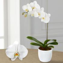 Photo of Joyful Journeys Phalaenopsis Orchid - PO18