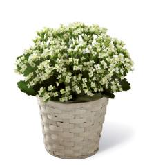 Photo of White Kalanchoe by FTD - S7-4976