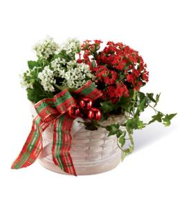 Photo of Celebrate Kalanchoe Seasonal Dishgarden  - B15-5141