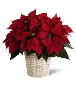 Photo of Red Poinsettia Basket Medium  - B11-3601
