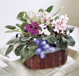 Photo of African Violets - C26-3559