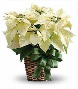 Photo of White Poinsettia in Basket - T122-2