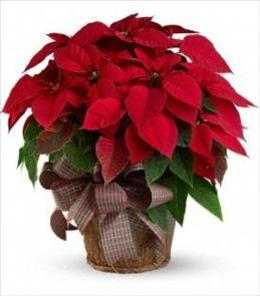 Photo of Red Poinsettia Large Teleflora T123-3 - T122-3