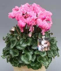 Photo of Cyclamen Pink - T91-1