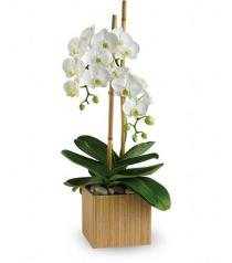 Photo of Opulent Orchid Plant - T98-2