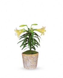 Photo of Easter Lily Plant - T12Z106