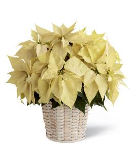 Photo of White Poinsettia Basket  - B17-3603