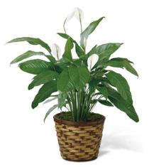 Photo of Spathiphyllum in Wicker Small - C28-4893