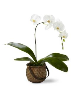 Photo of The FTD White Phalaenopsis Orchid - C29-4882