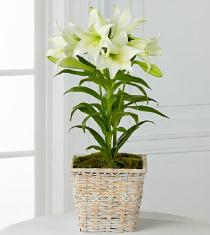 Photo of Spring Blessings Easter Lily Plant - P194