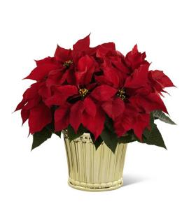 Photo of Poinsettia Planter by FTD Better Homes and Gardens - 13-C10
