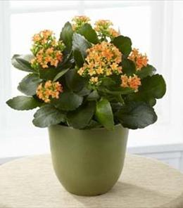 Photo of Kalanchoe Plant - C23-4884