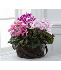 Photo of The FTD Mixed Cyclamen Planter - C25-4889
