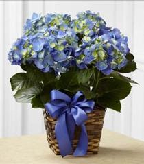 Photo of Blue Hydrangea Plant - C27-4879