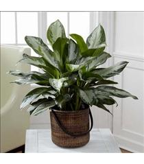 Photo of The FTD Chinese Evergreen - C28-4892