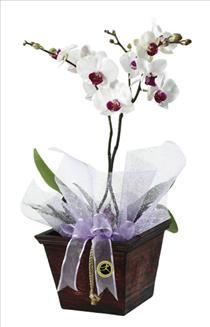 Photo of Orchid Plant - IC-1711