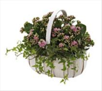 Photo of Kalanchoe Basket - IC-480109_UK_RO