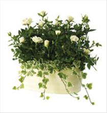 Photo of Cream Rose Planter - IC-480209_UK_RO