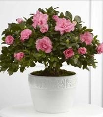 Photo of The FTD Vibrant Azalea Planter - S22-4487