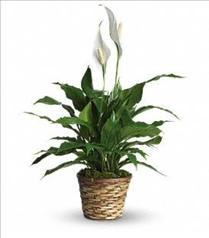 Photo of Simply Elegant Spathiphyllum - Small - T105-1