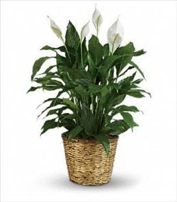 Photo of Simply Elegant Spathiphyllum - Large - T105-3