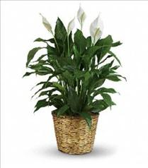 Photo of Simply Elegant Spathiphyllum - Large - T105-3