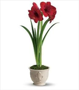 Photo of Teleflora's Merry Amaryllis T116-1 - T116-1