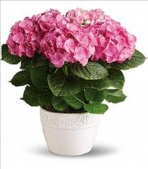 Photo of Happy Pink Hydrangea Plant  - T89-1