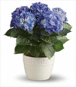 Photo of Hydrangea Plant - Blue or Pink - T89-2